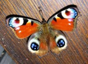 Fjäril ijanuari