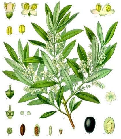 olivfakta