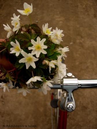 Cykel tur till vitsippeskogen